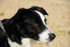 A Border Collie, registered with the AKC and having an ABCA certificate of descent.
