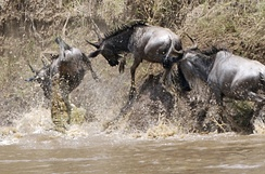 Wildebeest crossing the Mara River, attacked by crocodiles