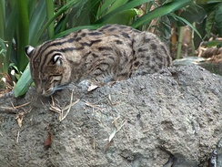 A fishing cat at the San Diego Zoo. Note the ocelli on the backs of the cat's ears.