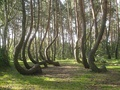 Crooked Forest in Nowe Czarnowo, Poland