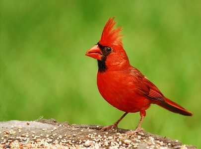 The cardinal takes its name from the color worn by Catholic cardinals.