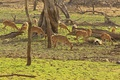 Herd of chital does at Ranthambore National park