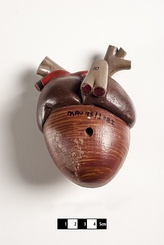 Didactic model of an avian heart.