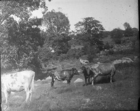 Cows grazing on the Town Plot, 1900