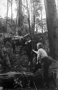 Mountain guide Alice Manfield using packhorses to carry wooden chairs up Mt Buffalo, c. 1912