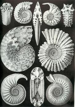 Различные формы раковин аммонитов (из книги Эрнста Геккеля «Красота форм в природе»)