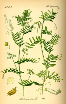 Illustration of the lentil plant, 1885