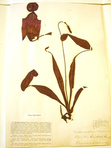 Type specimen for Nepenthes smilesii, a tropical pitcher plant