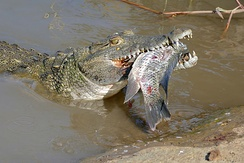 Subadult with tilapia as its prey