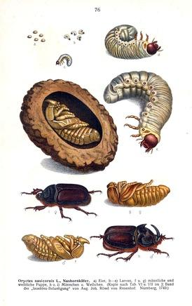 Жизненный цикл жука-носорога. Иллюстрация из книги Эдмунда Райттера Fauna Germanica. Die Käfer des Deutschen Reiches. Band II. (1908)
