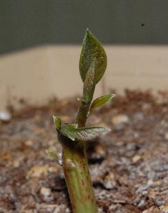 Двухнедельный побег авокадо