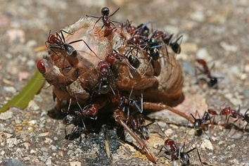 Social predators: meat ants cooperate to feed on a cicada far larger than themselves.