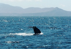 A blue whale's tail fluke with the Santa Barbara Channel Islands in the background