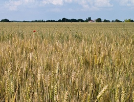 A wheat field in Île-de-France region.