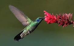 Hummingbirds are amongst the many birds with two foveae