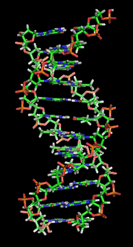 A section of DNA. The bases lie horizontally between the two spiraling strands.[18] (animated version).