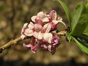 Daphne mezereum flowers bialowieza beentree.jpg