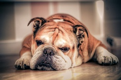 One of Britain's oldest indigenous breeds, the Bulldog is known as the national dog of Great Britain.[318]