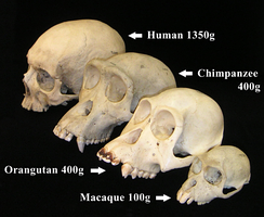 Primate skulls showing postorbital bar, and increasing brain sizes