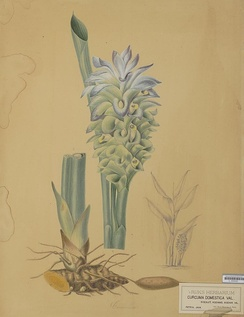 Curcuma domestica Valeton, a drawing by A. Bernecker around 1860