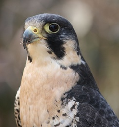 A peregrine falcon, the world's fastest animal
