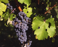 Grapes were important for the production of wine in ancient Israel
