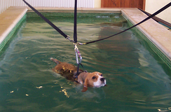 A Beagle swimming in a harness in a hydrotherapy pool
