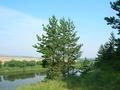 Сосны на Донском берегу