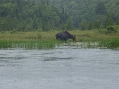 Female moose on the Amable du Fond River in Algonquin