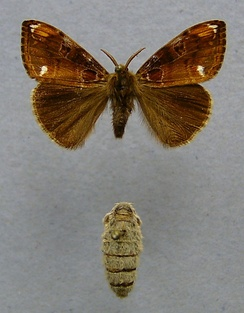 The different forms of the male (top) and female (bottom) tussock moth Orgyia recens is an example of sexual dimorphism in insects.