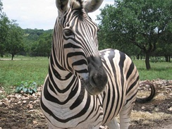 The Zebra has become a powerful symbol in the pheochromocytoma advocacy community and represents the rare medical cases that are more likely to be misdiagnosed