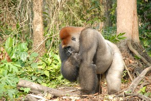 A gorilla in the DR Congo, 2008. The use of buckshot has helped bushmeat hunters target gorillas by allowing them to more easily kill the dominant male silverback.