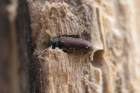 The common furniture beetle (Anobium punctatum) in situ
