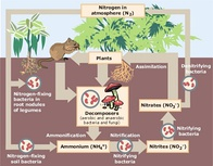 Nitrogen cycle and its stages