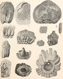 Fossil images of Cycads found in America (1906)