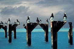 Brown boobies atop pier posts at Johnston Atoll, September 2005