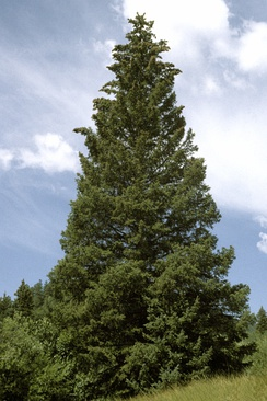 Pyramidal growth habit of Picea pungens