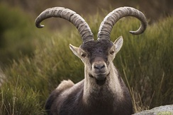 Western Spanish ibex, also called Gredos ibex (Capra pyrenaica victoriae), indigenous to Sierra de Gredos.