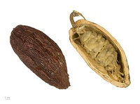 T. cacao fruit, dried