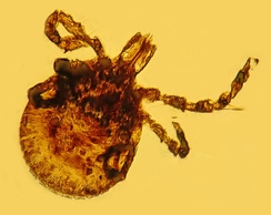 Fossilised tick in Dominican amber
