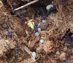 Муравьи «спасают» куколок и личинок