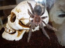 Пауки-птицееды (en: tarantula)— крупные пауки-мегаломорфы. Не относятся к роду «тарантулы».