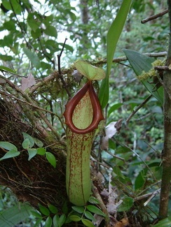 The carnivorous pitcher plant Nepenthes insignis grows on Biak.