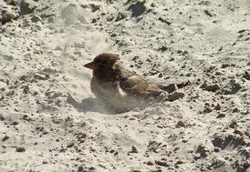 Купаясь в песке, воробьи чистят перья и избавляются от паразитов. По народной примете подобная песчаная процедура предвещает дождь