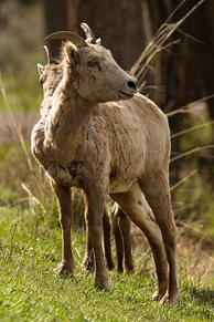 Female Rocky Mountain bighorn sheep (O. c. canadensis) in Yellowstone National Park