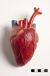 Didactic models of a mammalian heart