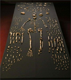 Homo naledi, discovered by a Wits-based team of palaeontologists working in the Cradle of Humankind.