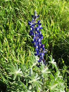 Blue Lupine in Tel Socho of the Elah Valley