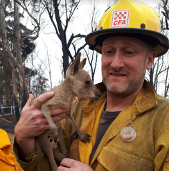 A Huron–Manistee National Forests employee, on secondment to Australia, holds a kangaroo joey.