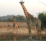 Conspicuous giraffe mother can defend herself, but calf hides for much of day, relying on its camouflage.